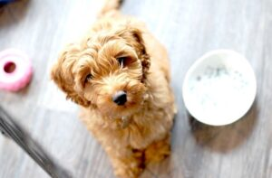 Is a Micro-Labradoodle Right for You