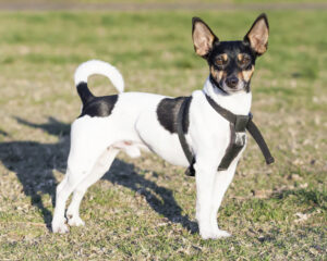 Conclusion For The Rat Terrier Chihuahua Mix