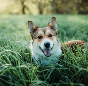Is it Possible For Corgis To Jump