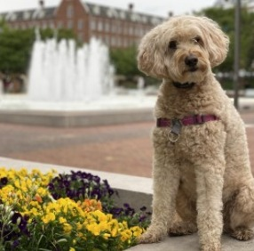 Keeping Your Goldendoodle Smelling Clean