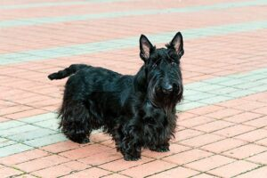 Kingsdale Scottish Terriers