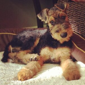 Lynaire Airedale Terriers