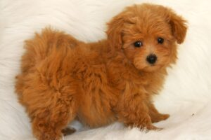 Maltipoo Red