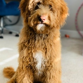 Meaning of F1, F2, Or F1B Goldendoodles