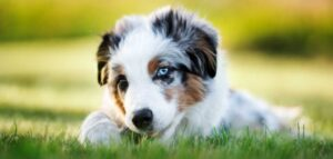 Miniature American Shepherd Puppies For Sale in the United States