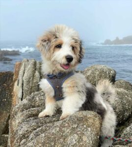 Best Mini Aussiedoodle Breeders in the United States