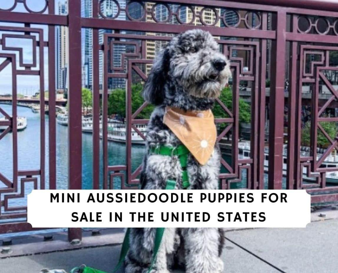 Mini Aussiedoodle Puppies For Sale