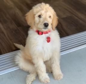 Mini Goldendoodle Breed Information
