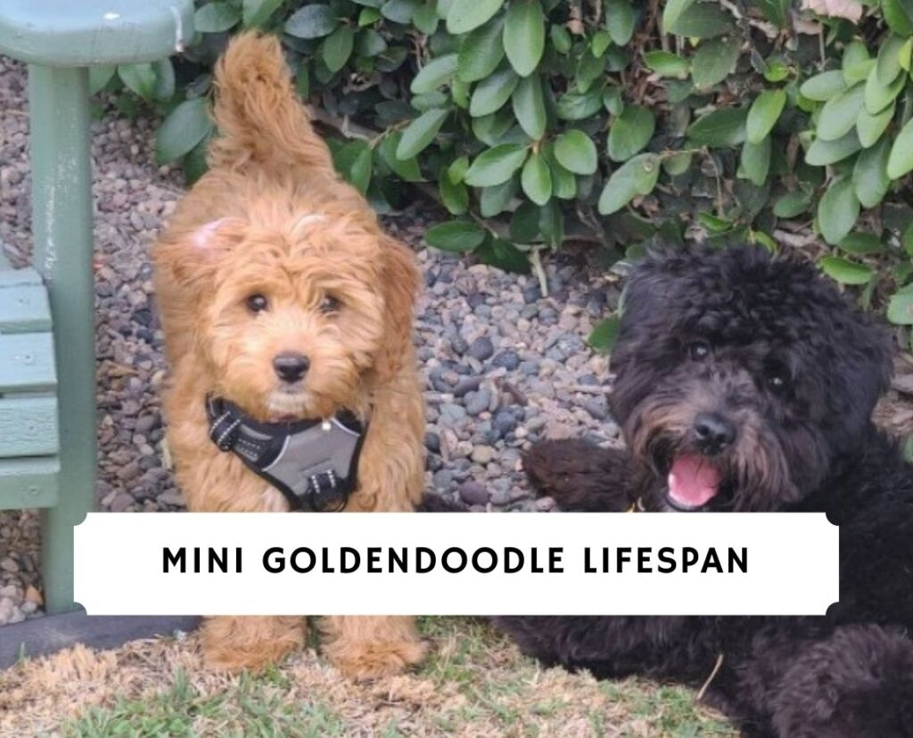 Mini Goldendoodle Lifespan