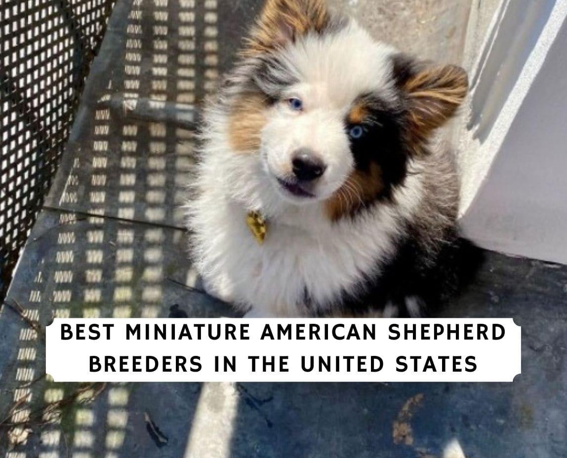 Miniature American Shepherd Breeders