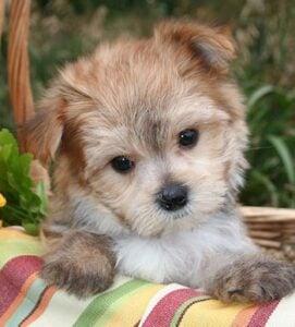Mystic Creek Maltipoo Puppies