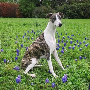 Nickeroos Whippets