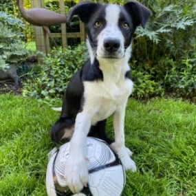 Northern California Border Collie Rescue and Adoptions
