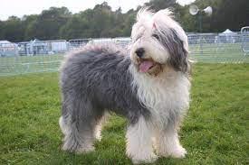 Old English Sheepdog coat colors