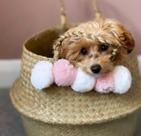Other Maltipoo Colors