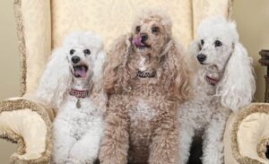 Other Silver Poodle Combinations