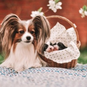 Papillon Puppies For Sale in the United States