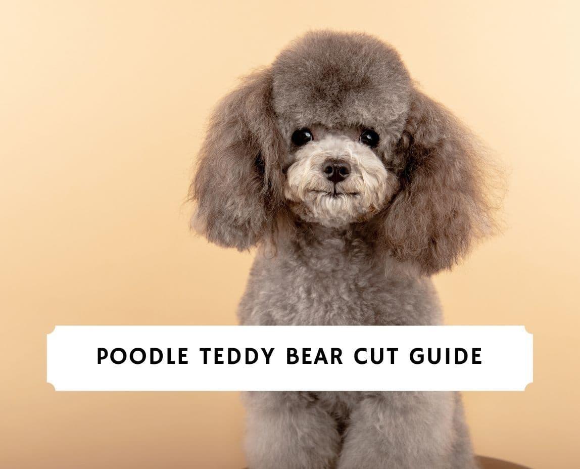 Poodle Teddy Bear Cut