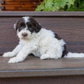 Portuguese Puppies For Sale in the United States