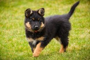Puppy coat changes