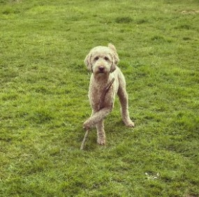 Reasons Why Your Labradoodle Might Smell