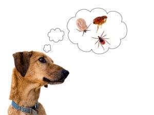 Dog health risk, ticks and flea. Disease carrier, protection.