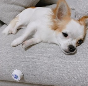 Rewrite Your Chihuahua's Past