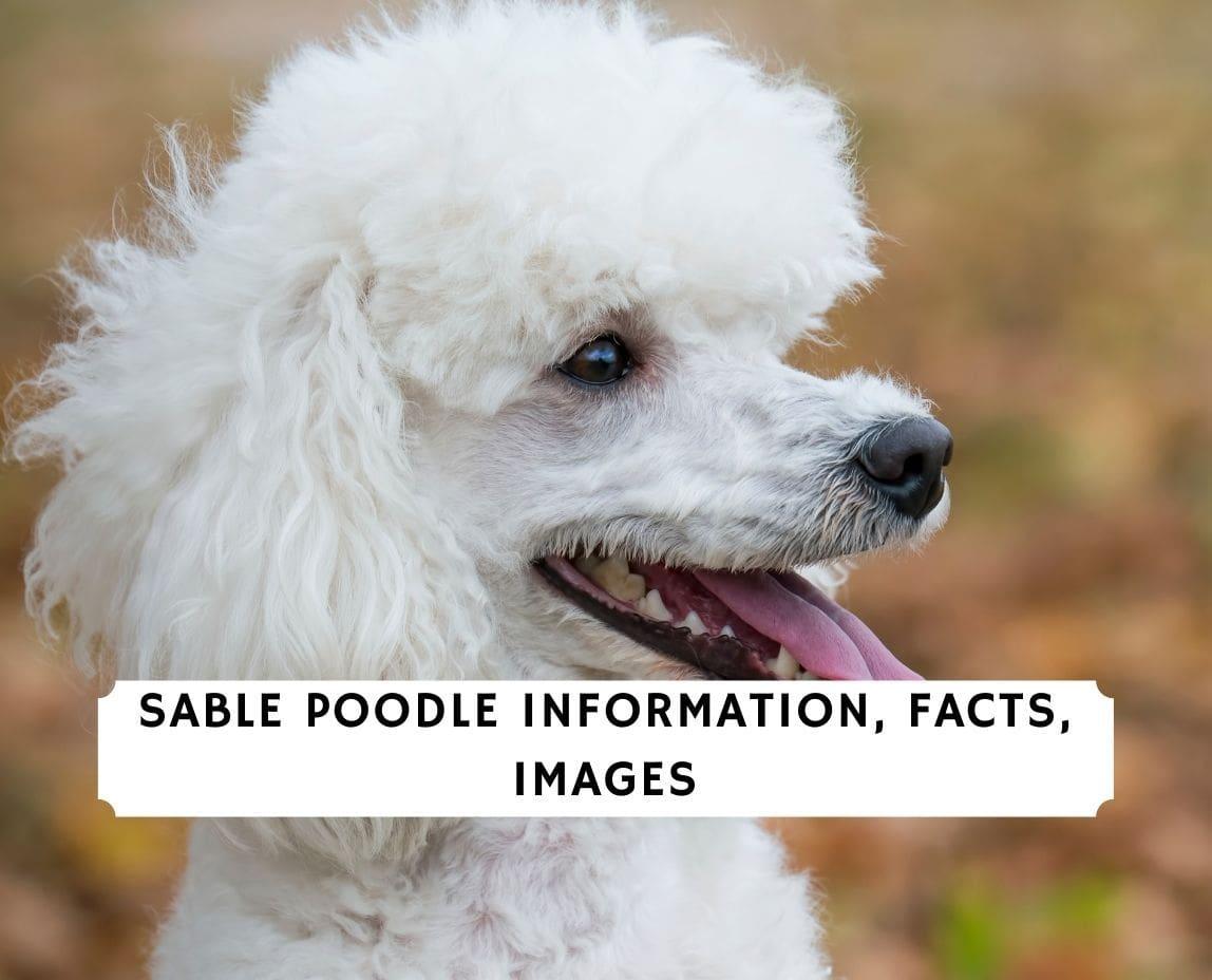 Sable Poodle