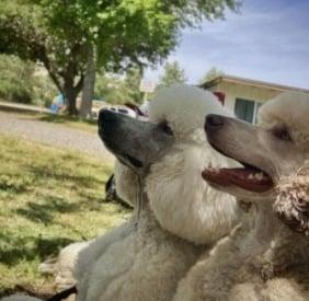Sable Poodle Puppy