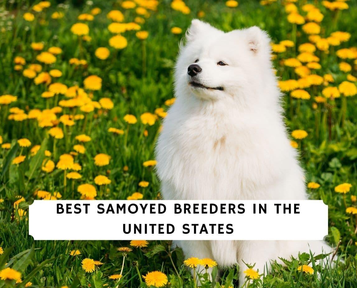 Samoyed Breeders