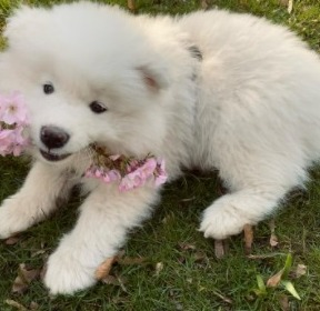 Samoyed Puppies For Sale in the United States