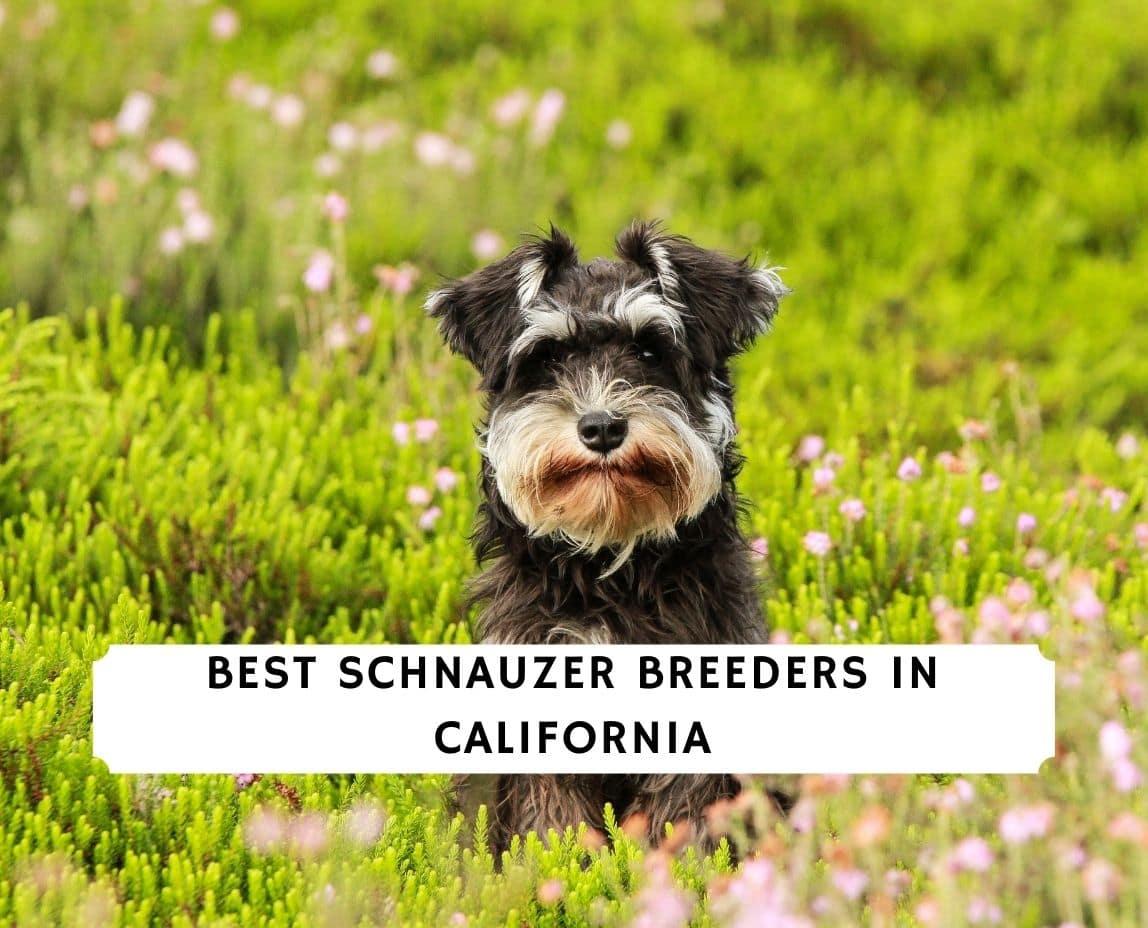 Schnauzer Breeders in California