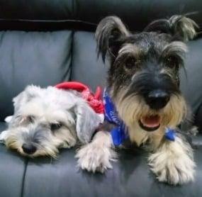 Schnauzer Puppies For Sale in California