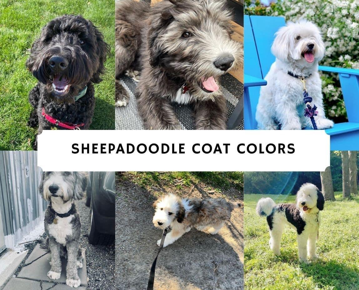 Sheepadoodle Coat colors