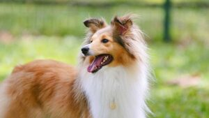 """Conclusion For The """"Best Shetland Sheepdog Breeders in the United States"""""""
