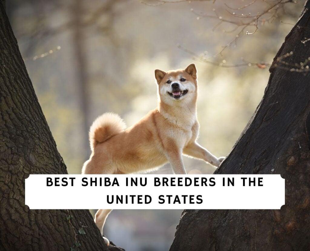 Shiba Inu Breeders