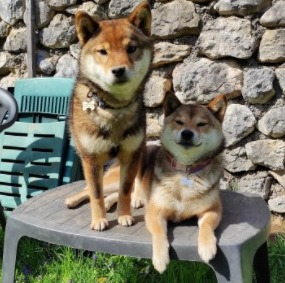 Shiba Inu Puppies For Sale in the United States