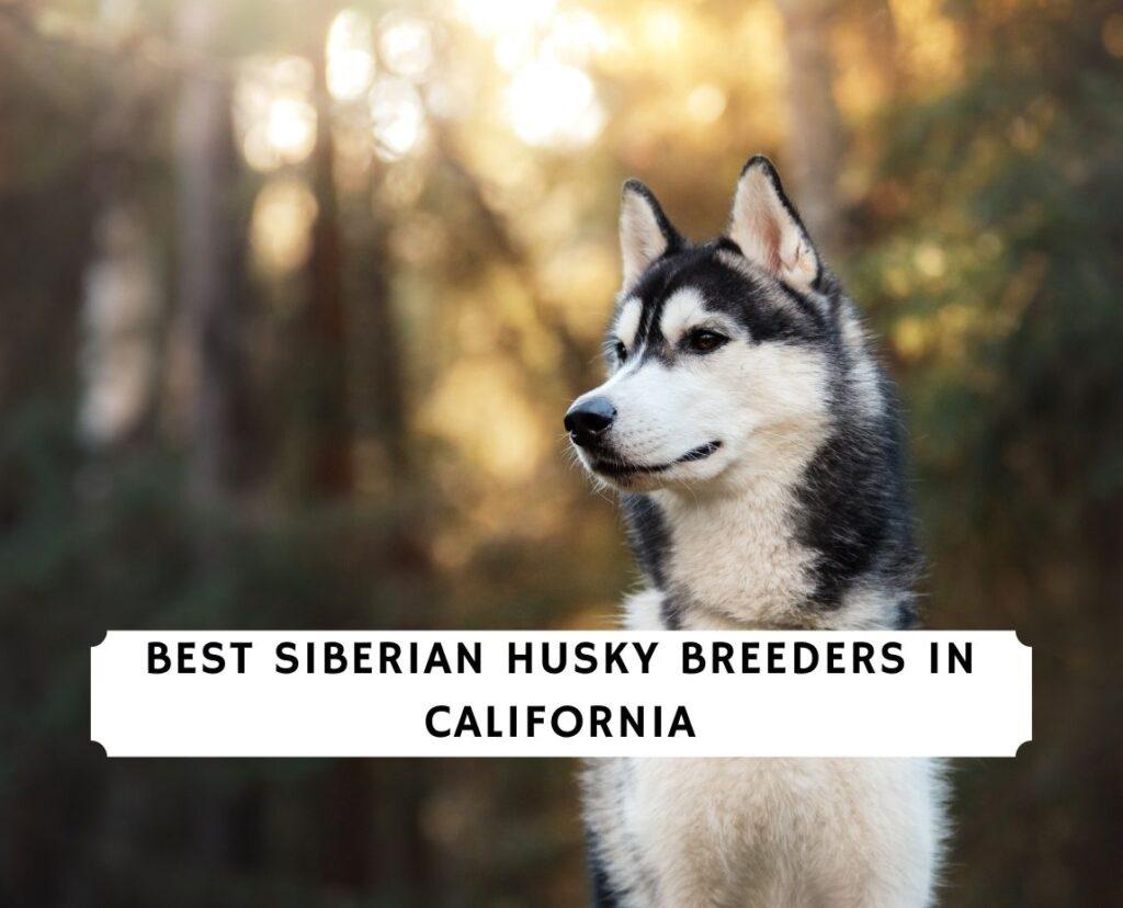 Siberian Husky Breeders in California