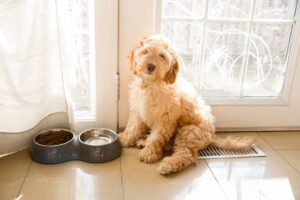 Factors that Determine Whether a Cockapoo will Shed