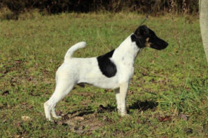 Sovereign Whippets AndGothic Smooth Fox Terriers