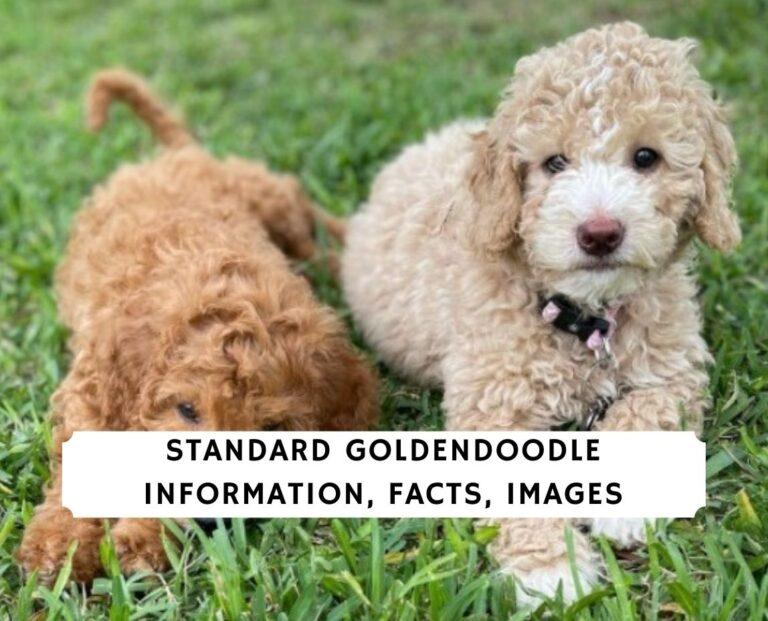 Standard Goldendoodle