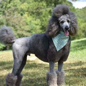 Conclusion For What is a Corded Poodle