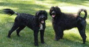 Sunkissed Portugese Water Dogs
