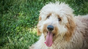 Conclusion For Standard Goldendoodle