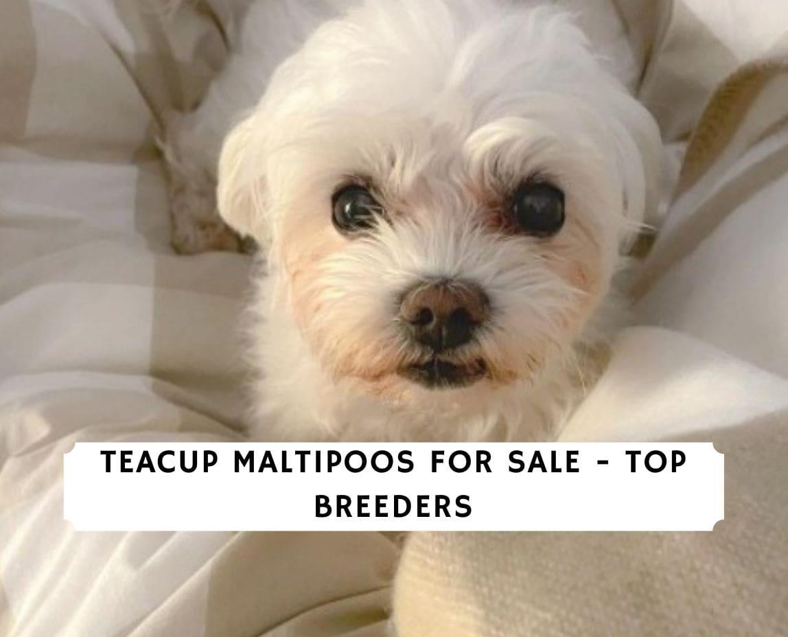 Teacup Maltipoos for Sale