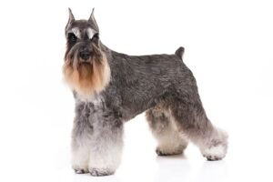 Conclusion For The Best Schnauzer Breeders in California
