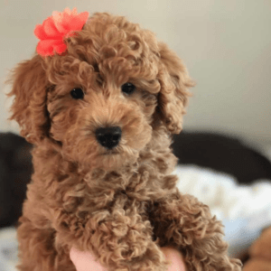 The Best Features of a Toy Labradoodle