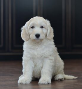 The Cream English Goldendoodle Appearance