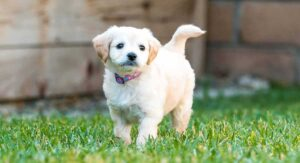 They Might Be Small, But Do Micro-Labradoodles Need Exercise