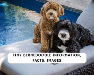 Tiny Bernedoodle